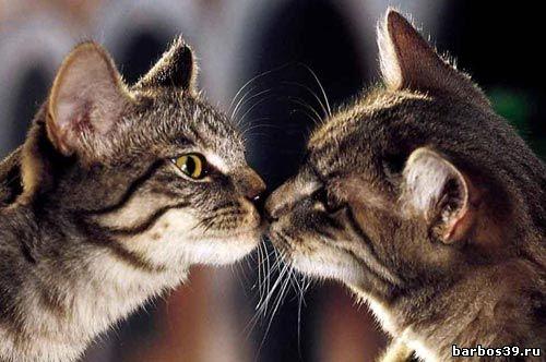 Как кошки целуются