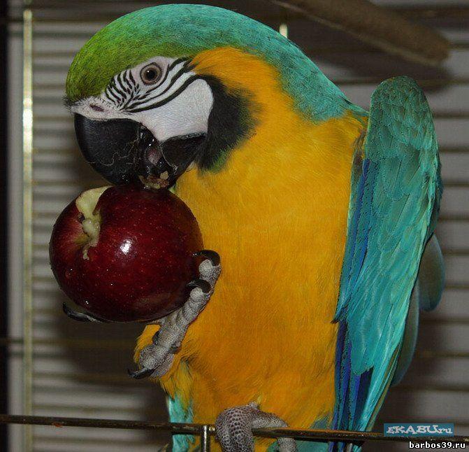 Чем питается попугай ара